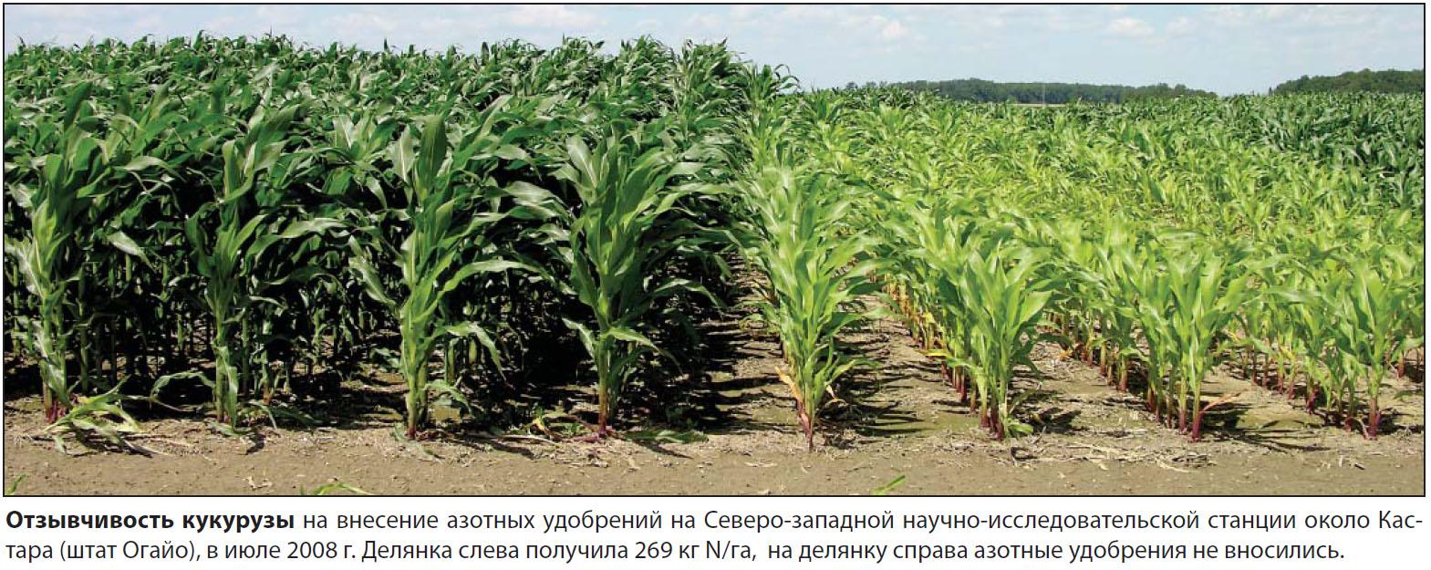 Выращивание кукурузы на приусадебном участке 38